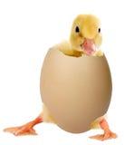 Anatroccolo in un uovo fotografie stock