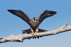 anatum peregrinus чужеземца сокола falco Стоковые Фото