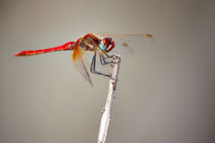 Anax ephippiger - common dragonfly Royalty Free Stock Photo