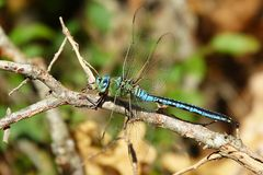 Anax imperator. Great European dragonfly, Europe, Croatia Royalty Free Stock Images