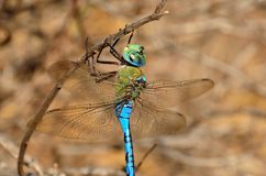 Anax imperator. Fascinating blue dragonfly in foreground, Anax imperator Stock Photo