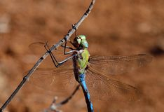 Anax imperator. Fascinating blue dragonfly in foreground, Anax imperator Stock Image