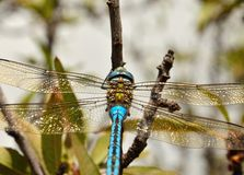 Anax imperator, great blue dragonfly. Great blue dragonfly anax imperator Stock Image