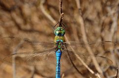 Anax imperator. Great blue dragonfly in foreground, anax imperator Royalty Free Stock Image