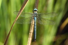 Anax imperator on stalk Stock Images