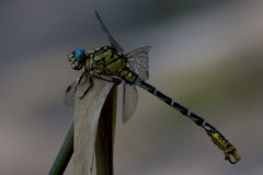 Anax imperator Stock Images