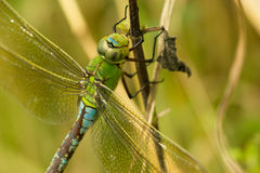 Dragonfly close up. Dragonfly resting in the sun royalty free stock photos