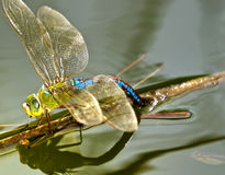 Anax Junius or Green Darner Royalty Free Stock Photos
