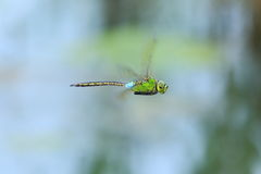 Anax parthenope Stock Photos