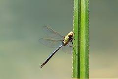 Anax tumorifer. Beautiful big dragonfly, Anax tumorifer, in Isalo national park, Madagascar stock photography
