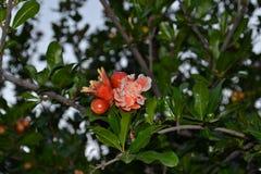 Anbauen der Frucht des Granatapfelbaums lizenzfreies stockbild