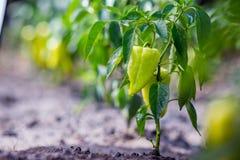 Anbauen des spanischen Pfeffers des grünen Pfeffers Unausgereifte Pfeffer im veget Stockbild