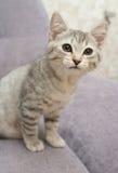 Anblick eines kleinen grauen Kätzchens Lizenzfreie Stockfotografie