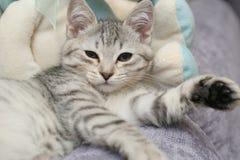 Anblick eines kleinen grauen Kätzchens Lizenzfreies Stockfoto