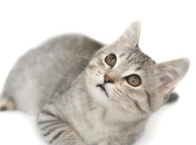 Anblick eines kleinen grauen Kätzchens Stockbild
