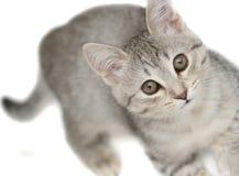 Anblick eines kleinen grauen Kätzchens Stockbilder