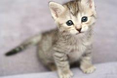 Anblick eines kleinen grauen Kätzchens Lizenzfreie Stockbilder
