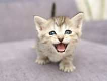 Anblick eines kleinen grauen kittenwith der geöffnete Mund Lizenzfreie Stockfotos