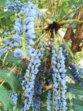 Ancêtre de l'arbre de prunus images libres de droits