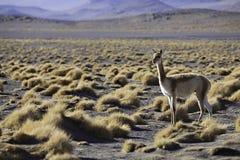 Ancêtre de vigogne de lama et d'alpaga dans les Andes Images libres de droits