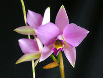 Anceps de Laelia Photographie stock
