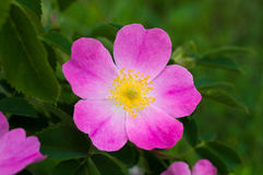Anche del fiore Immagine Stock