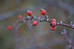 Anche gelide di un rovo (canina di rosa) Fotografia Stock Libera da Diritti