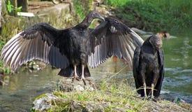 Anche gli avvoltoi possono amare! Immagini Stock Libere da Diritti