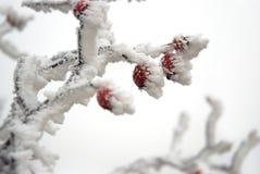 Anche rosse sotto la neve Fotografia Stock Libera da Diritti