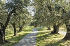 Anchiano, Bezirk von Vinci, Landschaft mit Olivenbäumen, Toskana, Italien Lizenzfreies Stockfoto
