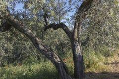 Anchiano, Bezirk von Vinci, Landschaft mit Olivenbäumen, Toskana, Italien Stockbild