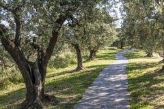 Anchiano, Bezirk von Vinci, Landschaft mit Olivenbäumen, Toskana, Italien Stockfotografie