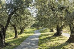 Anchiano, district of Vinci, landscape with olive trees, Tuscany, Italy Royalty Free Stock Photo