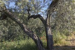 Anchiano, district of Vinci, landscape with olive trees, Tuscany, Italy Stock Image