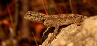 Anchieta ` Agama jaszczurka na skale, Cedarberg góry afryce kanonkop słynnych góry do południowego malowniczego winnicę wiosna Obraz Stock