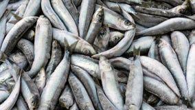 Anchois de sardines de poissons Photos libres de droits