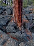 Anchored on the Rock. Ponderosa pine in the basalt rocks by Dillon Falls near Bend, Oregon stock photo