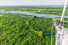 Anchoring in seaweed field, Waddensea, Netherlands Stock Image