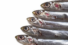 Anchovies. Some fresh anchovies on a white background Royalty Free Stock Photo