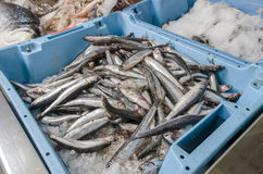 Anchovies on ice at the fish market.  Royalty Free Stock Photo