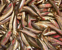 Anchovy catch for sale Royalty Free Stock Photos