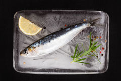 Anchovy fish on ice. Royalty Free Stock Photos