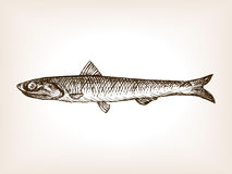 Anchovy fish sketch style vector illustration. Old hand drawn engraving imitation Stock Photo