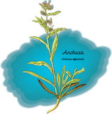 Anchusa Image stock