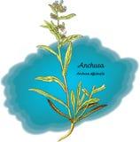 Anchusa Стоковое Изображение