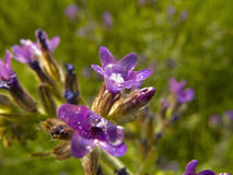 Anchusa officinalis Stock Photos