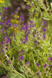 Anchusa officinalis Stock Images