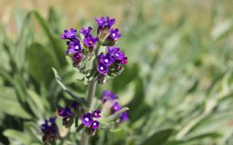 Anchusa officinalis, commonly known as the common bugloss or alkanet. Is a medicinal plant from the borage family. Anchusa officinalis, commonly known as the royalty free stock images