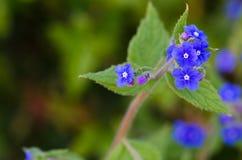Anchusa officinalis Royalty Free Stock Photos