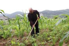 Ancião com uma remoção de ervas daninhas da enxada no campo de milho Fotos de Stock
